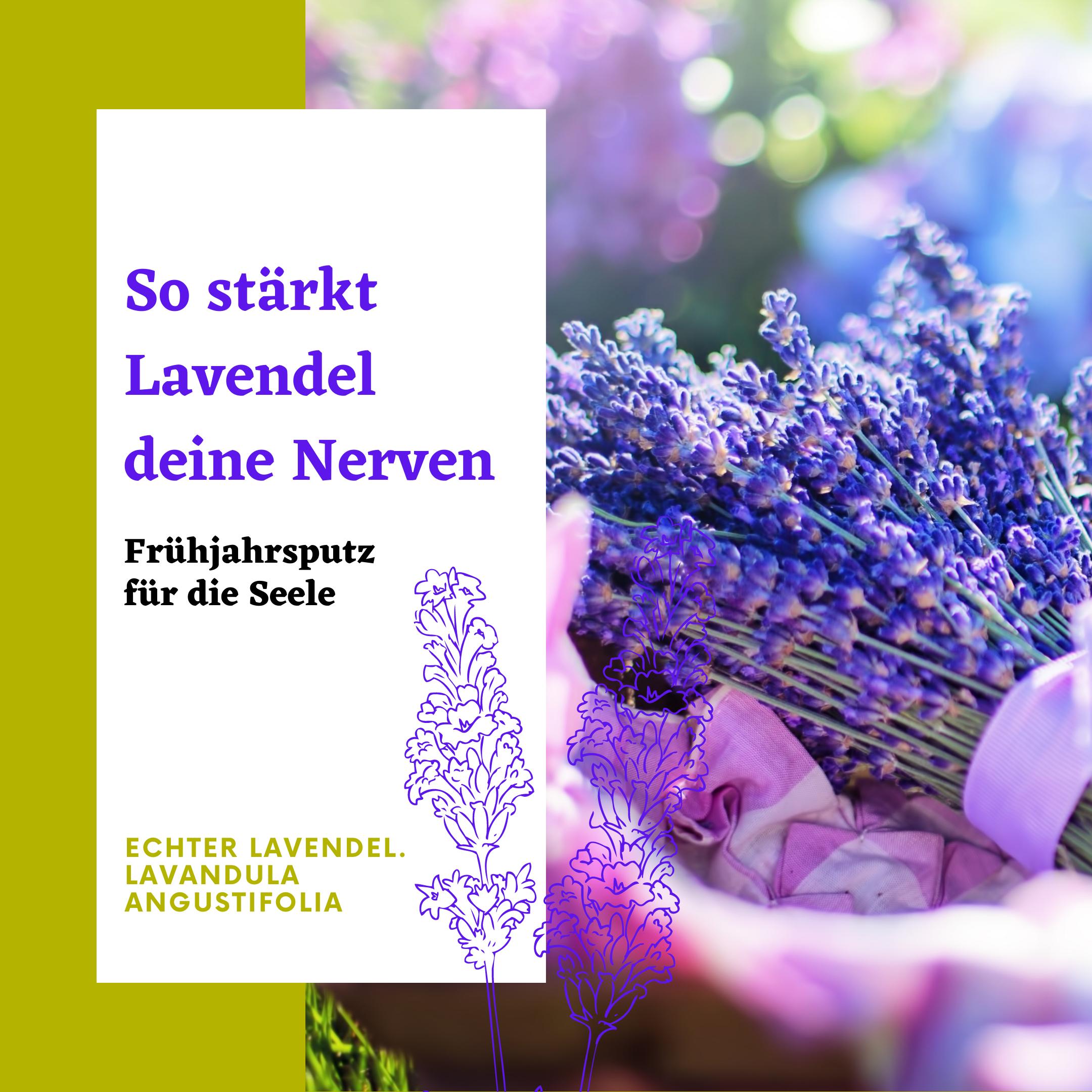Duftender Lavendelstrauss im Sonnerlicht.Lavendelöl stärkt deine Nerven