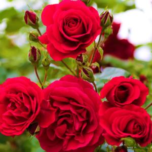 Rosen – Symbole der LIebe und der Schönheit